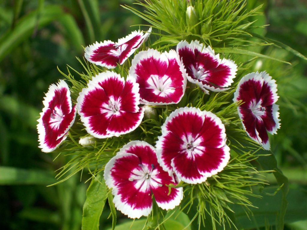Clavel Del Poeta Todo Acerca De Esta Hermosa Planta