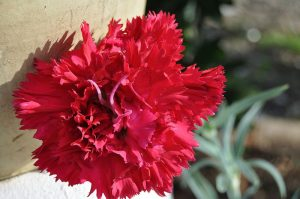 flor roja clavel