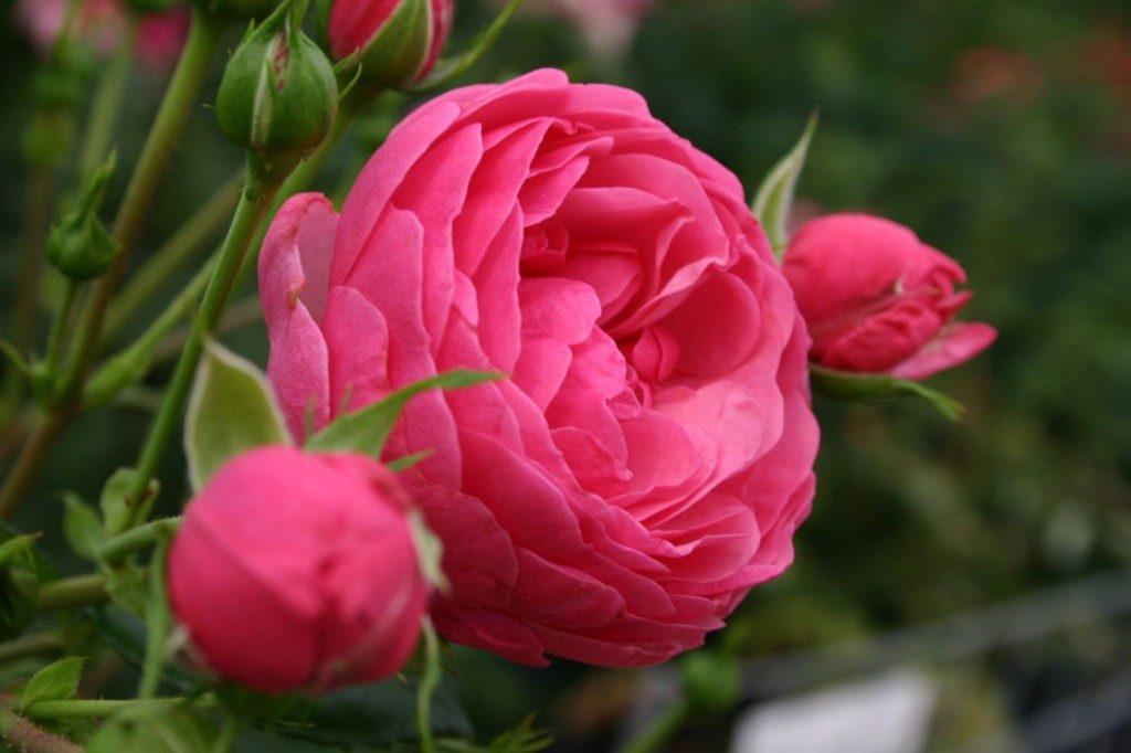 rosas que son