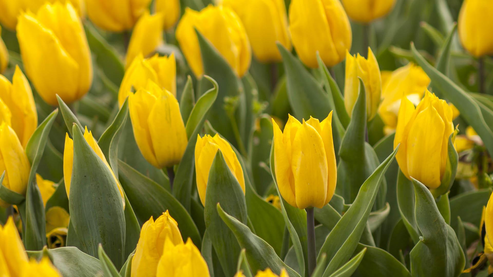tulipan origen
