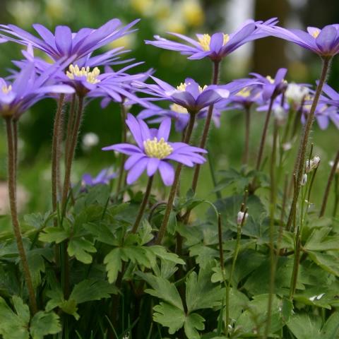 anemone blanda cuidados