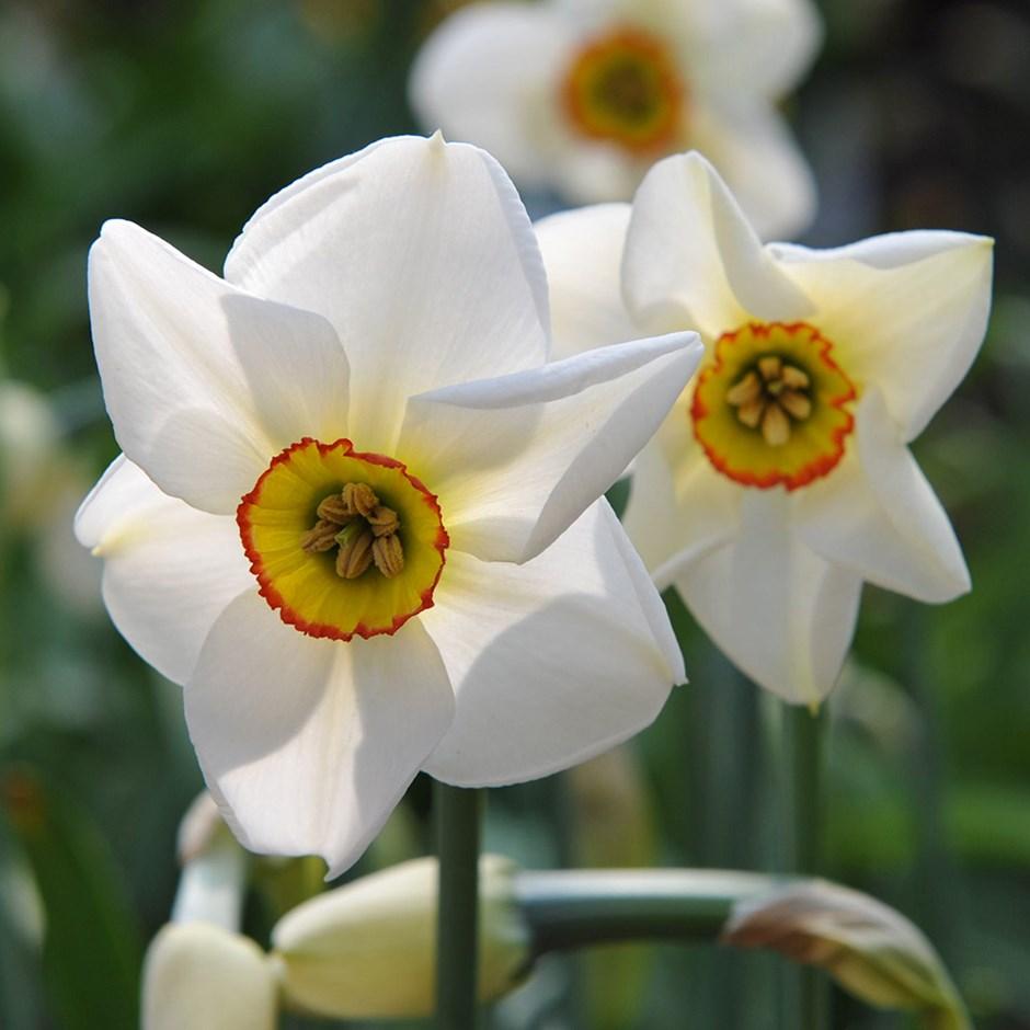 narcissus poeticus que es