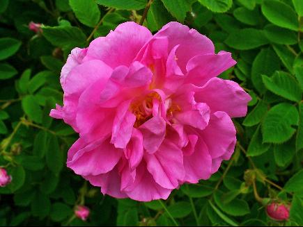 rosa damascena propiedades