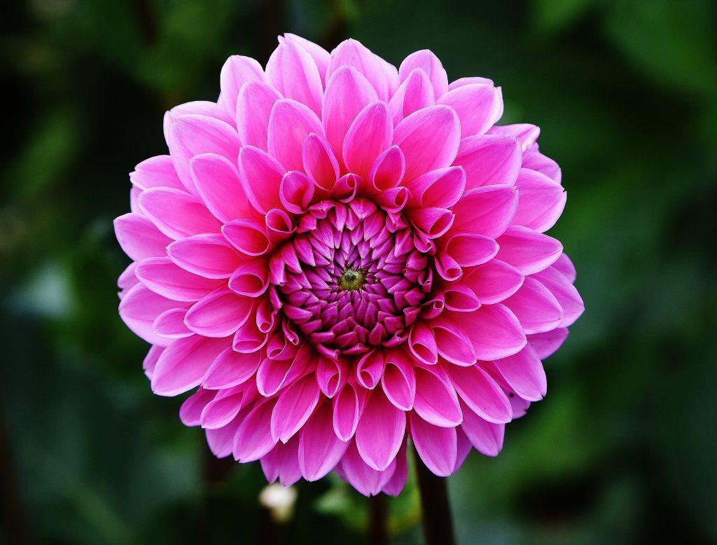 Dalia rosada