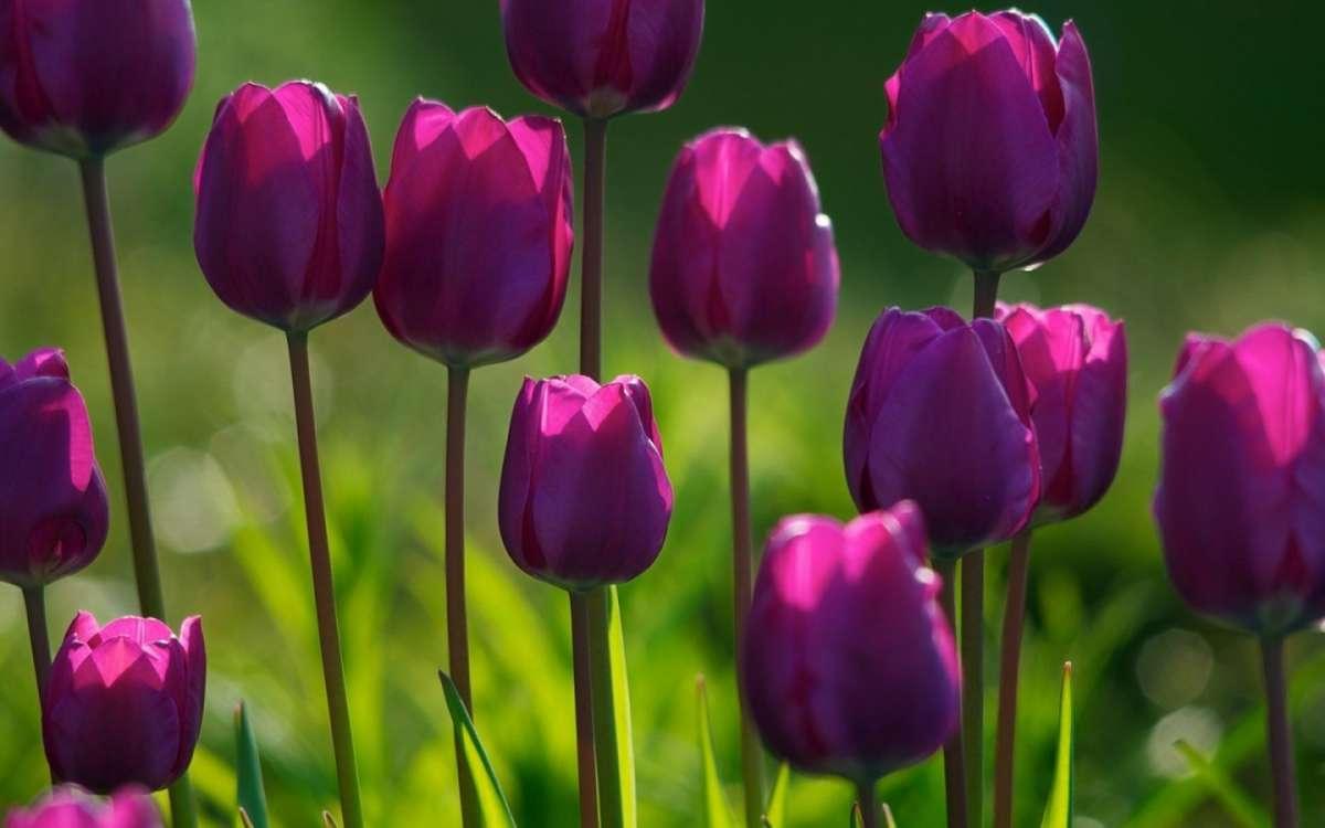 Tulipan Origen Historia Significado Usos Cuidados Y Mas Information and translations of tulipanes in the most comprehensive dictionary definitions resource on the web. tulipan origen historia significado