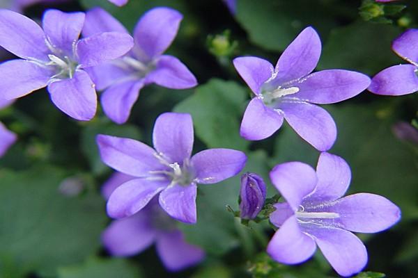 flores lila