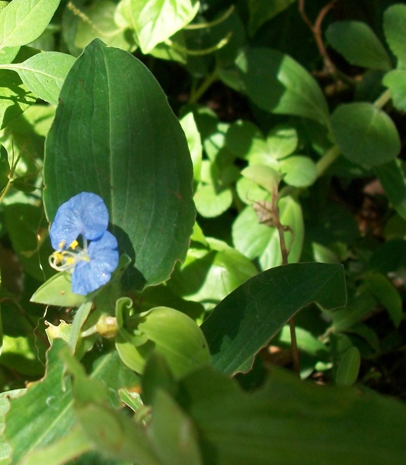 Virginia O Flor De Santa Lucía
