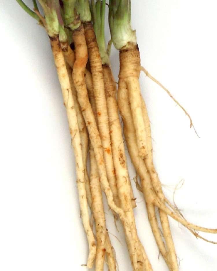 Zanahoria silvestre