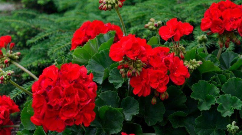 Geranio flor
