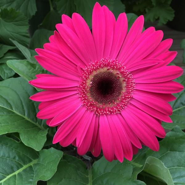 Gerbera flor