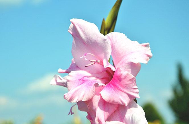 Gladiolo flores