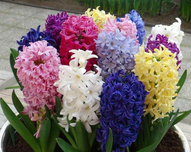 jacinto flores