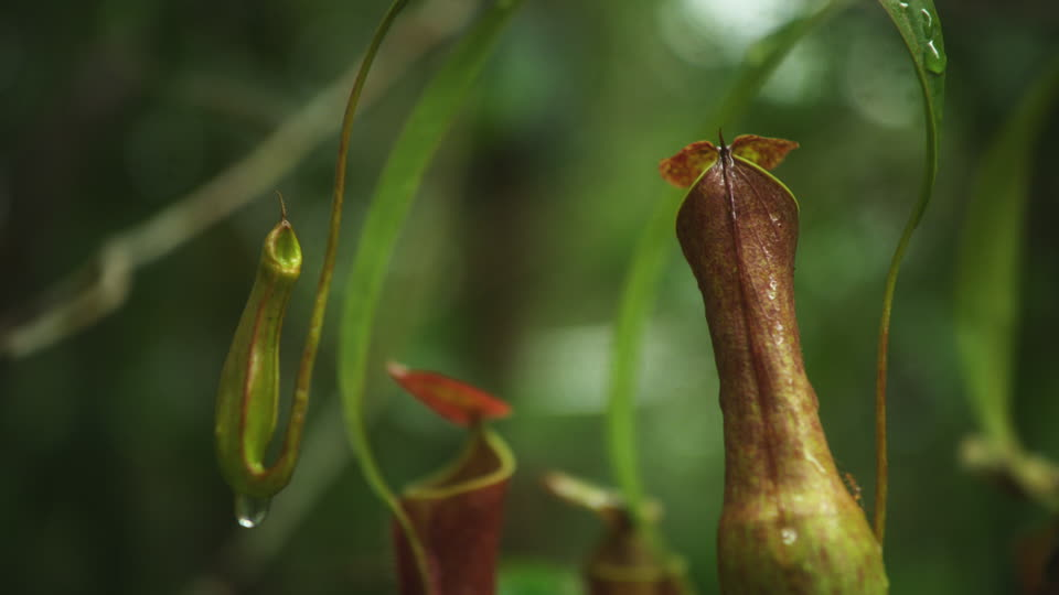 Flor Nepenthes