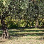 poda-del-olivo