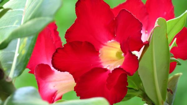 rosa del desierto imagenes