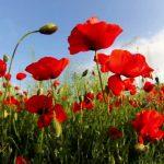 significado de las amapolas rojas