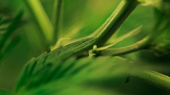 partes de la Planta del Cannabis
