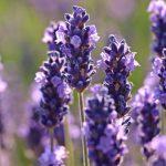flores de aroma