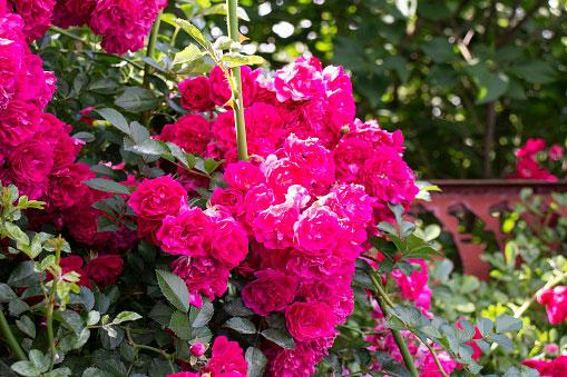 flores para cultivar en el jardín